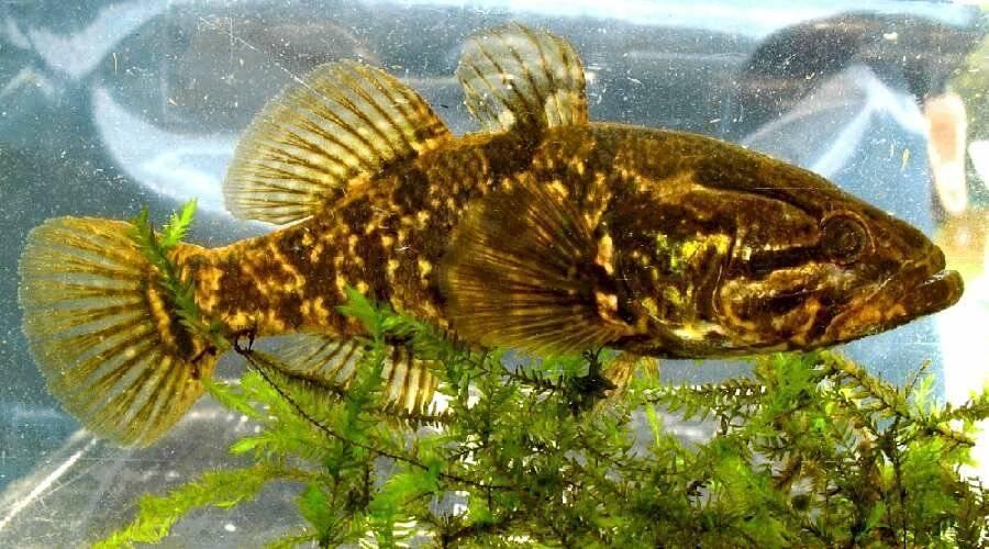 Ротан: описание рыбы, ареал, повадки и ловля
