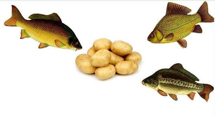 Вареный картофель: отличная насадка для ловли крапа!