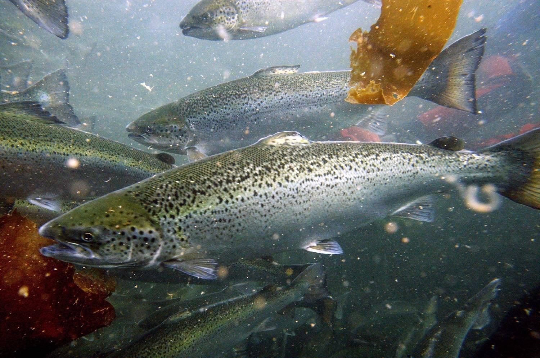 Воблеры на лосося — особенности ловли, советы по выбору снасти