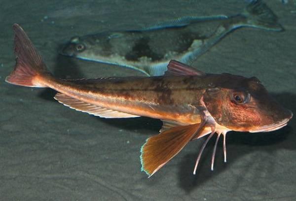 Рыбки тетры