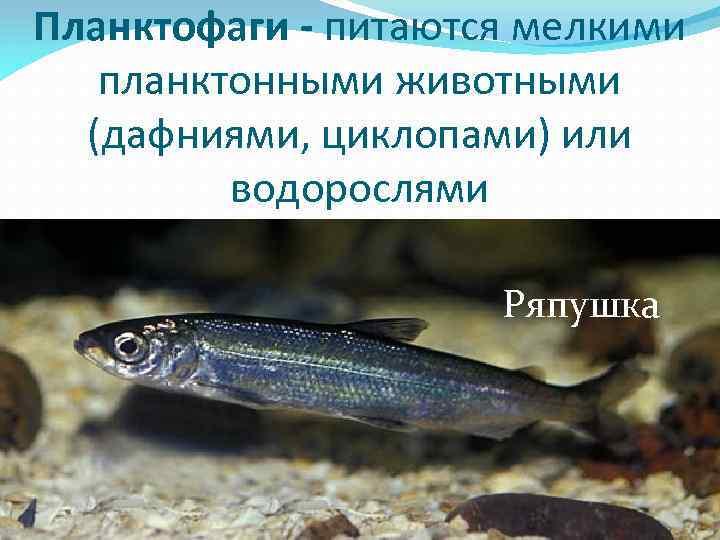 Рипус рыба - описание, среда обитания, нерест, промысел, рыбалка на рипуса, рецепты