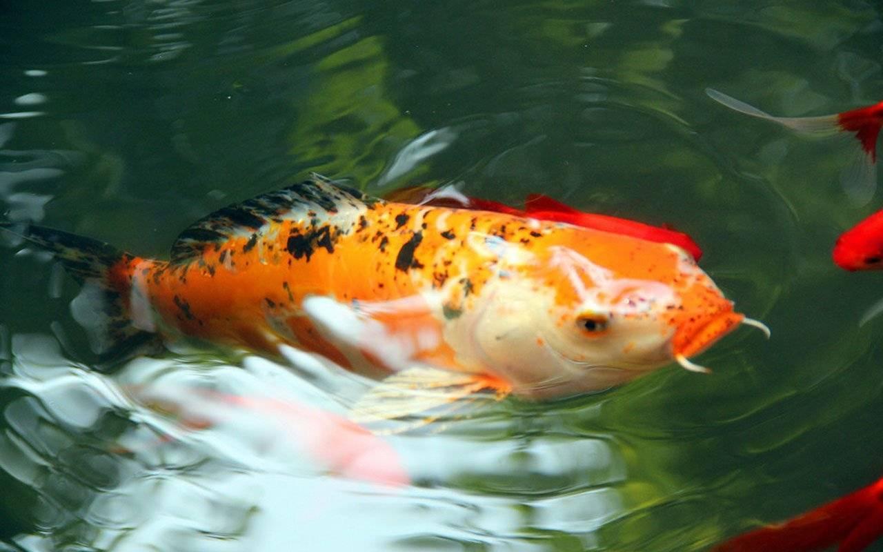 Карпы кои: описание,содержание,кормление,разведение,совместимость,фото,видео.   аквариумные рыбки