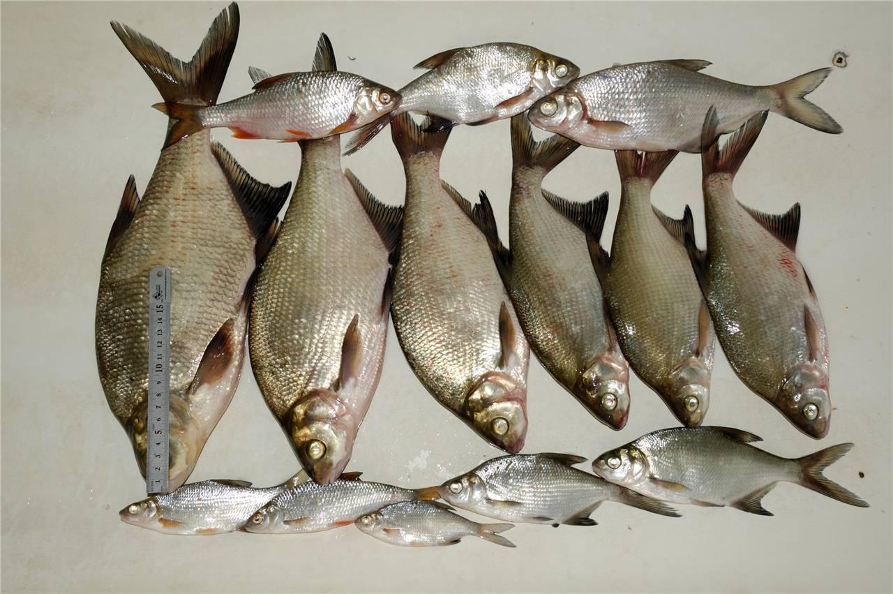 Осеняя ловля густеры – рыбалке.нет