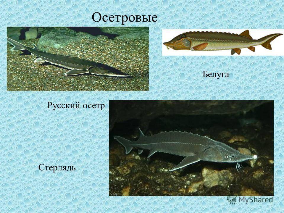 Где обитает и сколько лет живет рыба осетр — изучаем со всех сторон