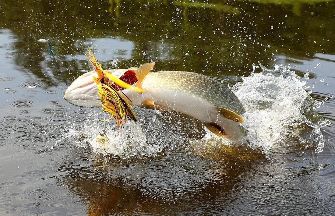 Секреты рыбалки: спиннербейт на щуку и его особенности
