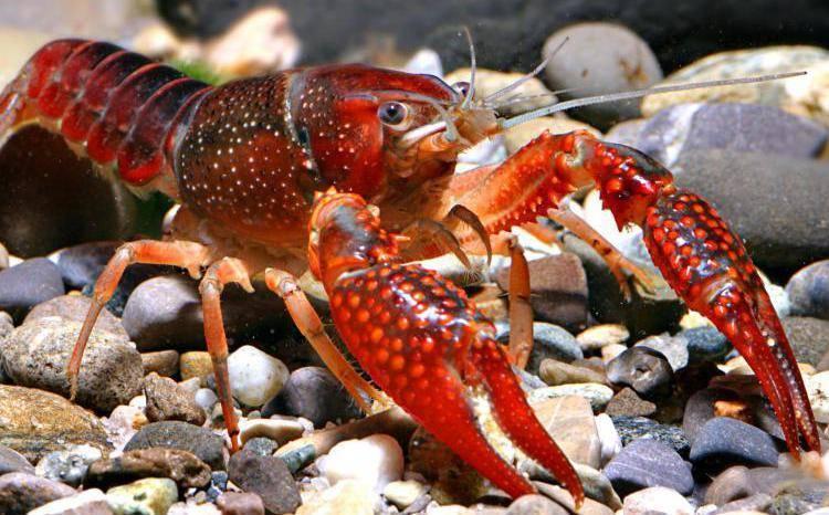 Американские цихлиды - виды, фото и описания рыб