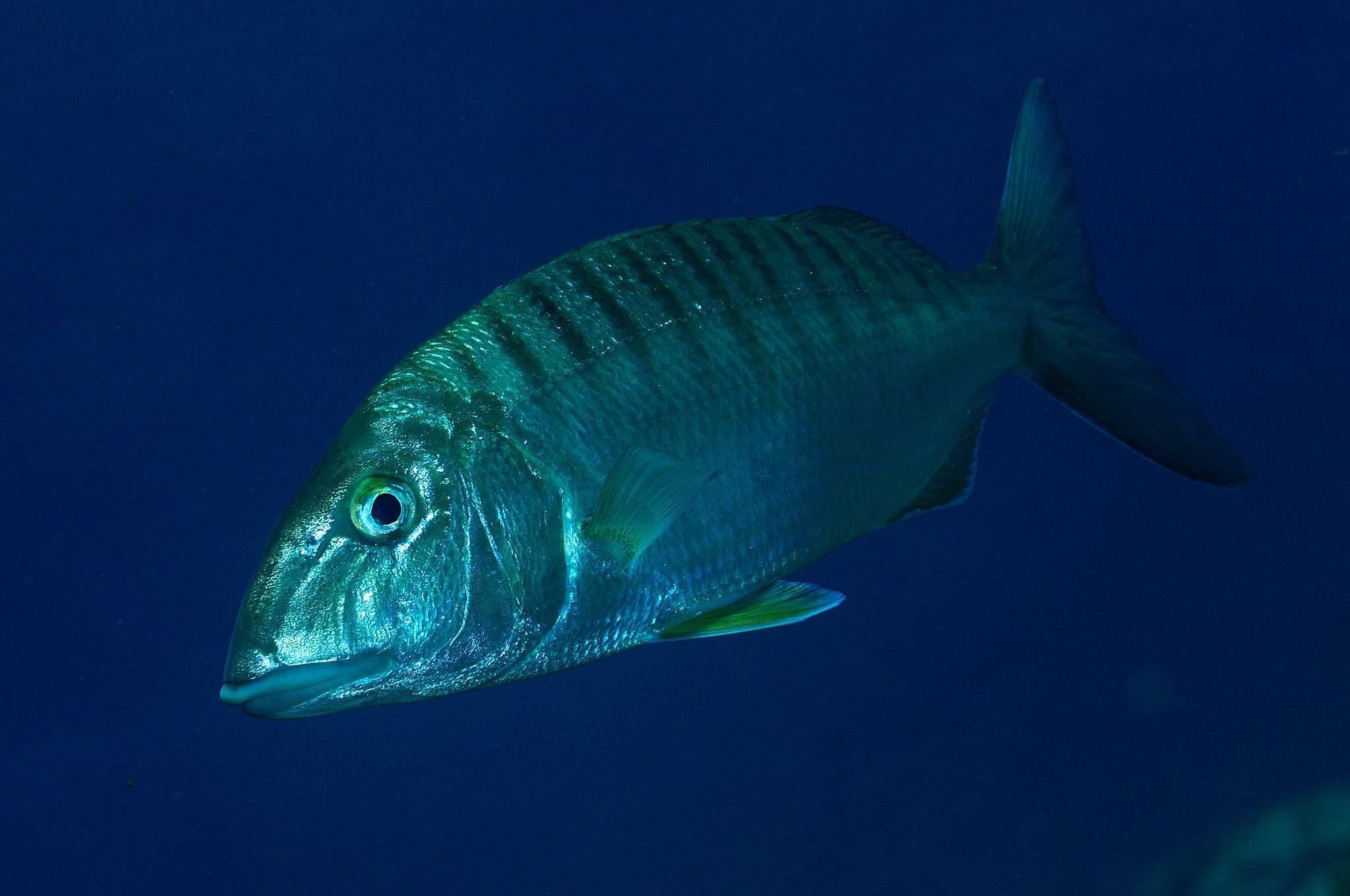 Звездчатый аротрон: фото рыбы, описание