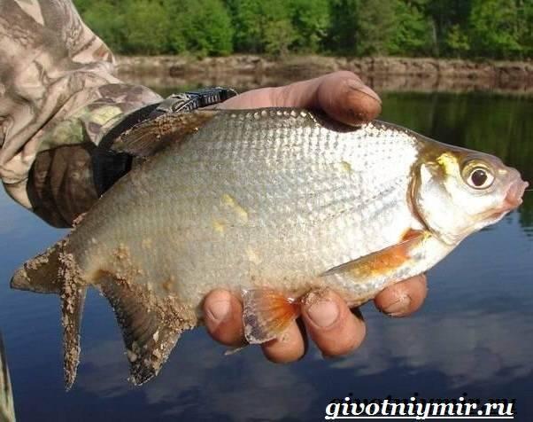 Рыба густера: фото и описание, как выглядит, ловля, на что ловить летом, как сделать летнюю удочку, где водится в водоеме, как клюет