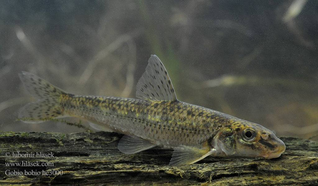 Рыба пескарь: описание и фото речного семейства рыбы