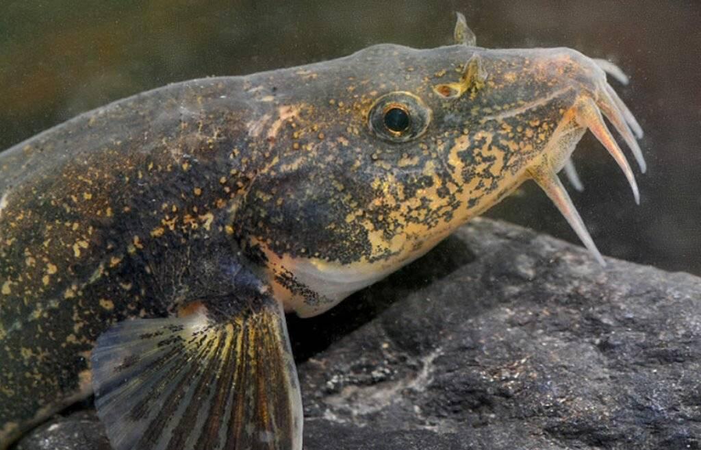 Как приготовить рыбу голец в домашних условиях вкусно и быстро
