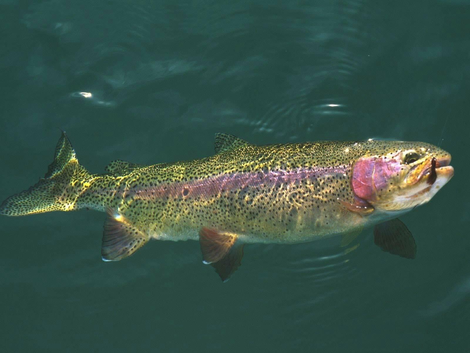 Форель рыба. образ жизни и среда обитания рыбы форель | животный мир