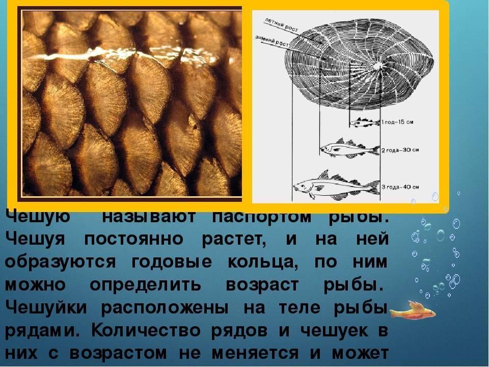 Возраст и размер рыбы