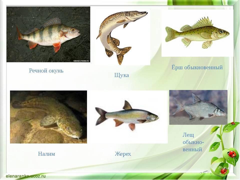 Карась: описание рыбы, места обитания, образ жизни и способ ловли