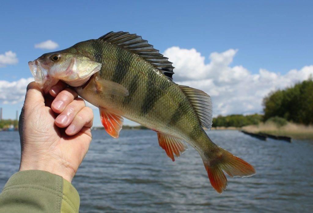 Окунь - основная рыба северных широт евразии (109 фото)
