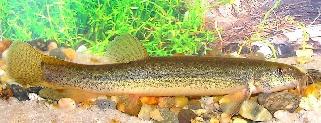 Вьюновые аквариумные рыбки: виды, уход, фото, видео