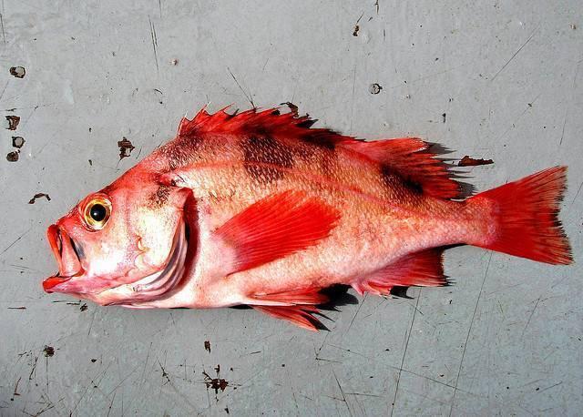 «золотая рыбка» морской окунь: его польза и вред для человека, способы приготовления и нормы употребления
