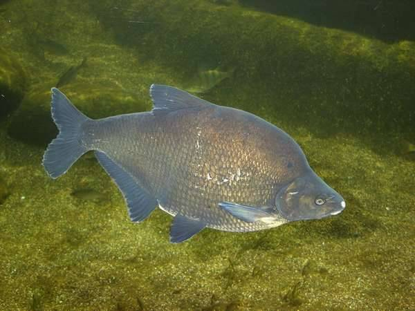 Белый амур (рыба): чем питается и как выглядит самый большой беламур