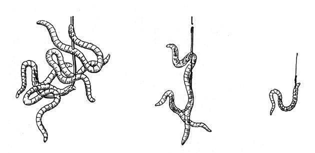 Как правильно насаживать червя на крючок - читайте на сatcher.fish