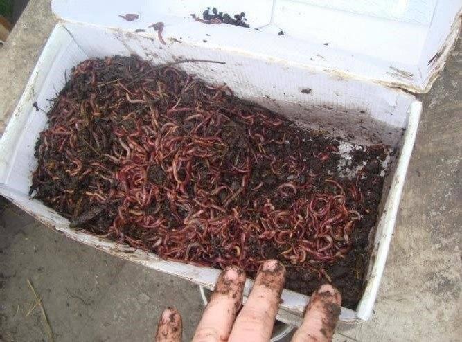 Черви для рыбалки: хранение и разведение в домашних условиях