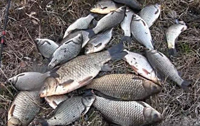 Как ловить карасей на поплавочную удочку, на фидер, секреты,  весной, летом, осенью и зимой, видео