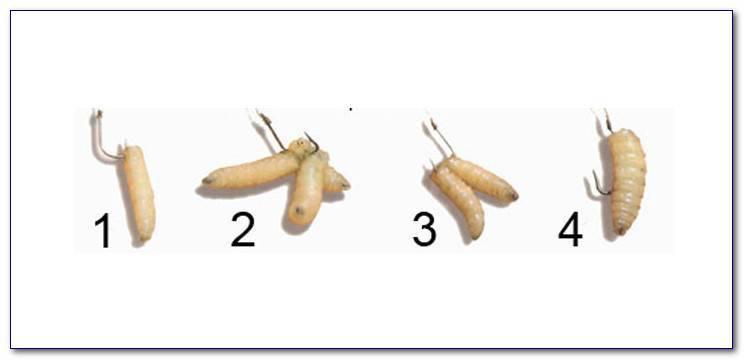 Как правильно насадить червя на крючок и как сделать червей более уловистыми