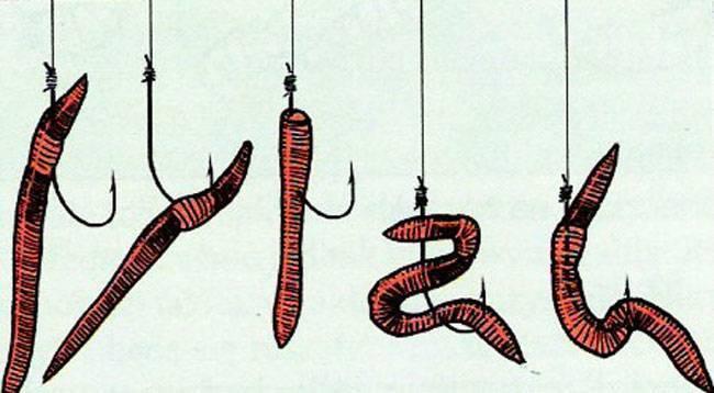 Как насаживать червя на крючок при рыбалке на карася, леща?