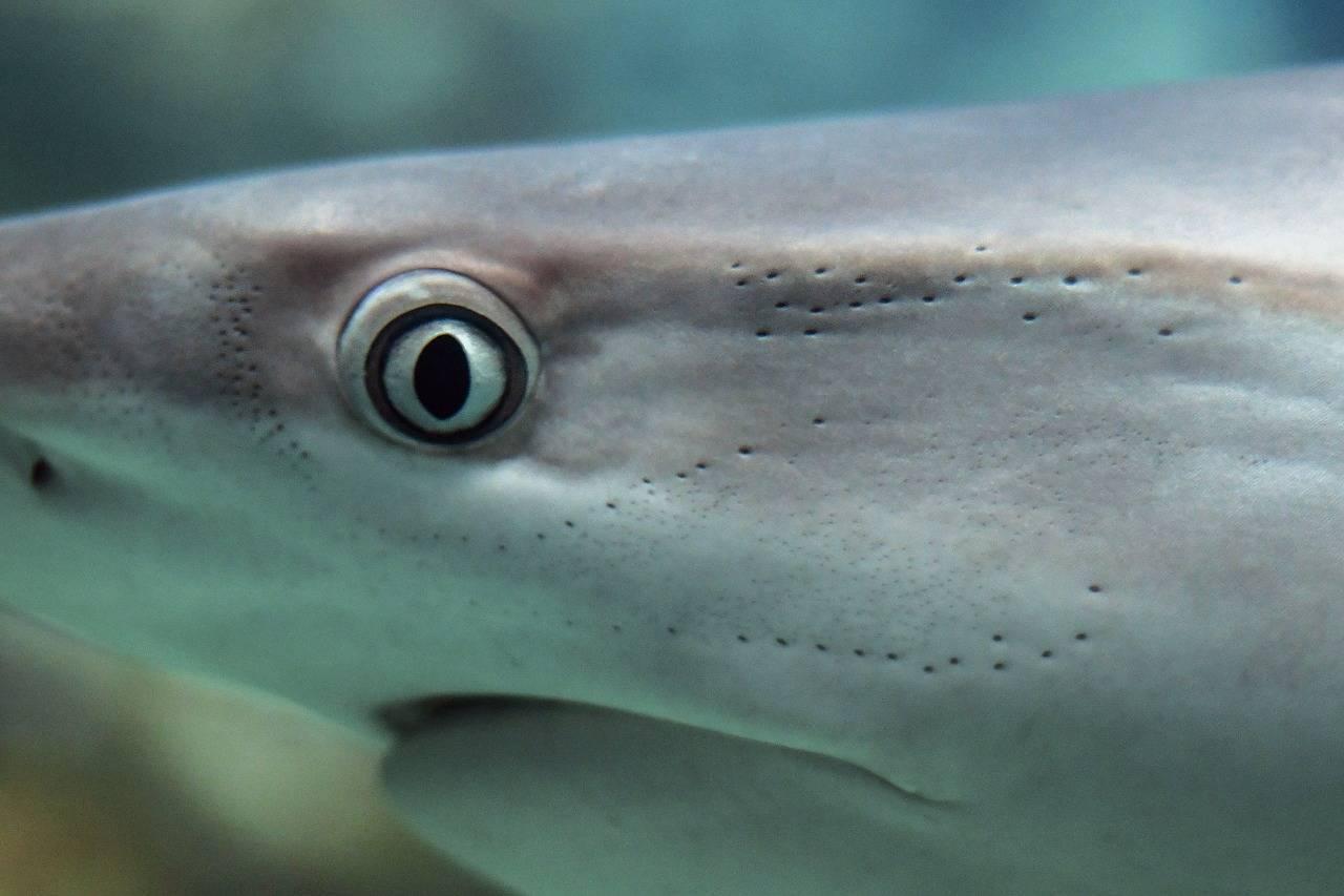 Рыбки телескопы аквариумные (большие выпученные глаза, пучеглазая, телескопик): виды (черная, золотая), содержание