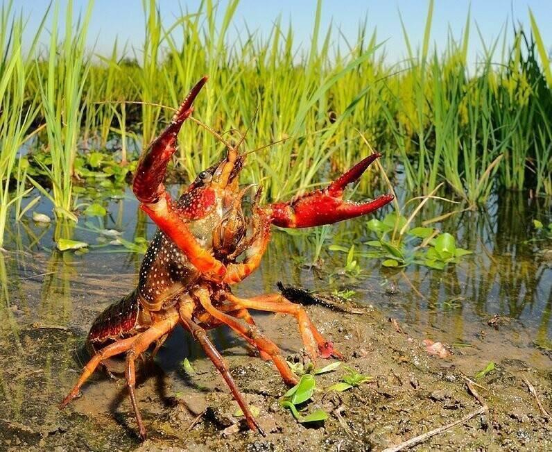 «Рак американский болотный» фото и описание