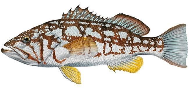 Сибас: что за рыба, описание, где водится, как приготовить, польза
