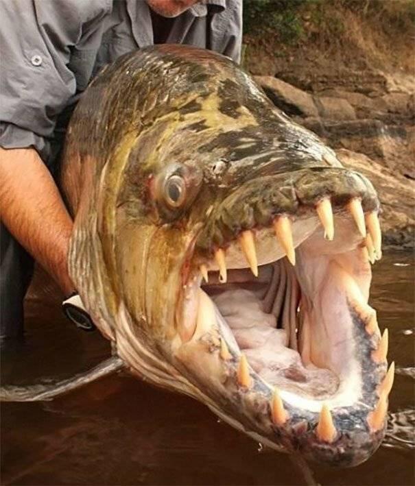 Сообщества › это интересно знать… › блог › рыба голиаф — тигр живущий в реке конго
