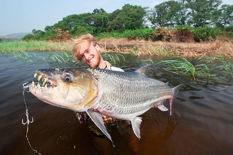Рыба голиаф или большая тигровая: фото, видео, описание