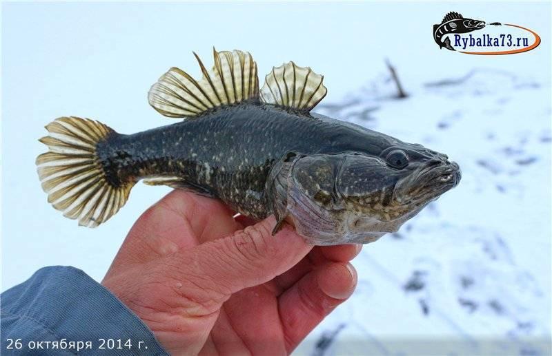 Ротан — что это за рыба и как ее ловить на спиннинг