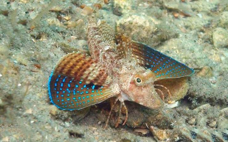 Летучие рыбы, морские рыбы-авиаторы