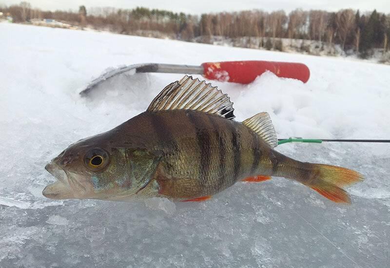 Ловля окуня на блесну зимой: видео, 10 лучших донных блесен, техника зимней рыбалки