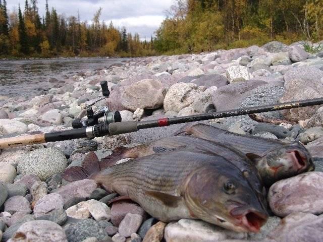Рыбалка на байкале. виды промысловой рыбы, места обитания и действующие запреты и ограничения