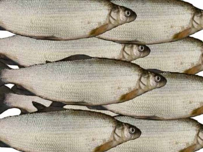 Рыба пелядь полезные свойства – информационный сайт