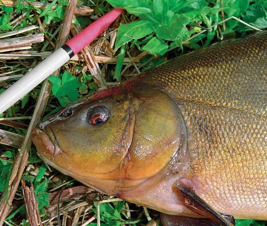 Рыбалка на линя весной