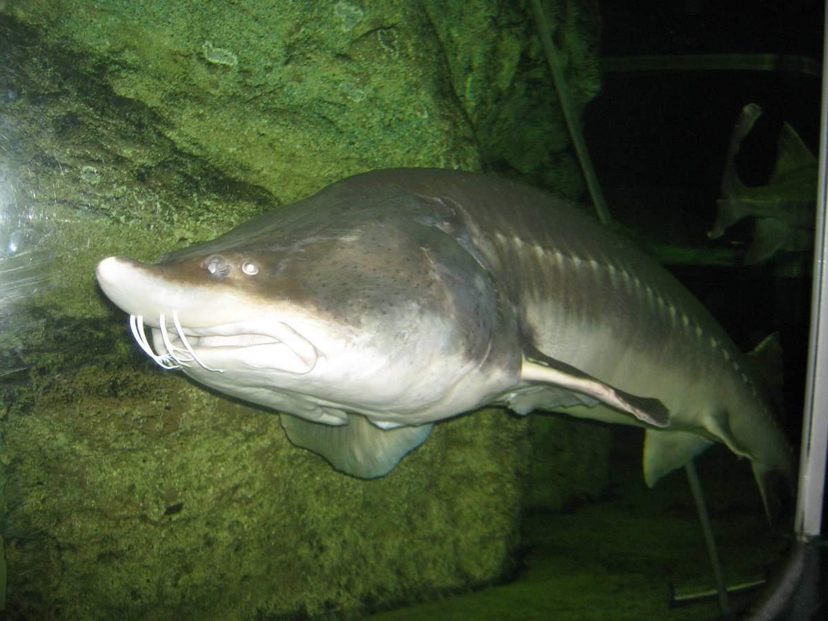 Рыба «Калуга» фото и описание