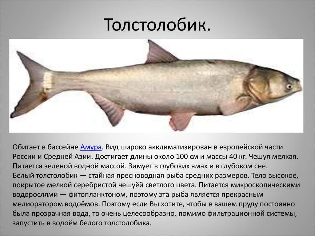 Толстолобик — костлявая рыба или нет