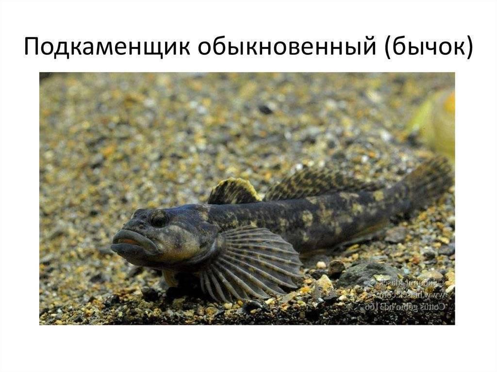Подкаменщик: описание рыбы, ареал обитания, повадки и ловля