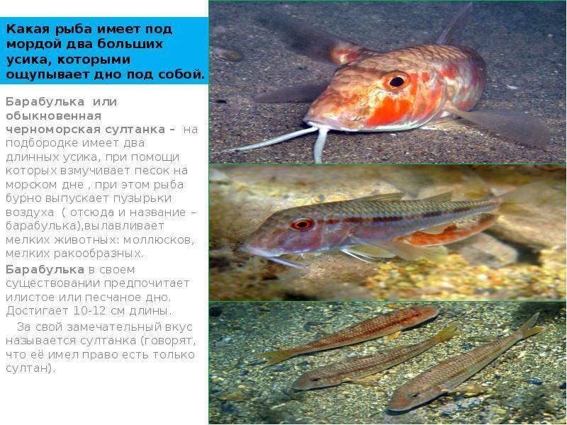Как выглядит рыба барабулька фото- рецепт пошаговый с фото