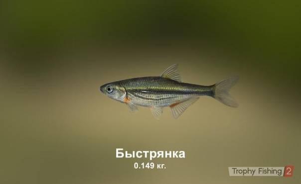 Быстрянка — энциклопедия рыб