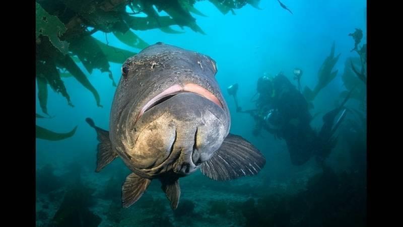 Морской окунь: польза и вред красной рыбы для организма, состав и калорийность, полезные свойства и противопоказания