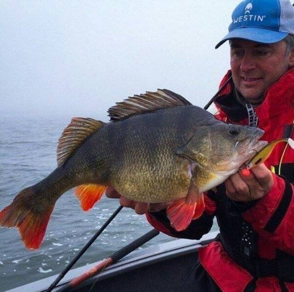 Речной окунь: описание, поведение и нерест, самый крупный вес рыбы, пойманной в россии