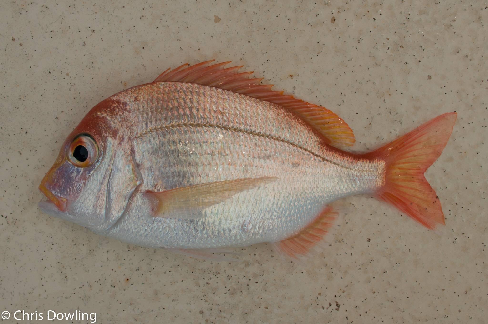 Зубатка - описание с фото, польза и вред рыбы; рецепт приготовления