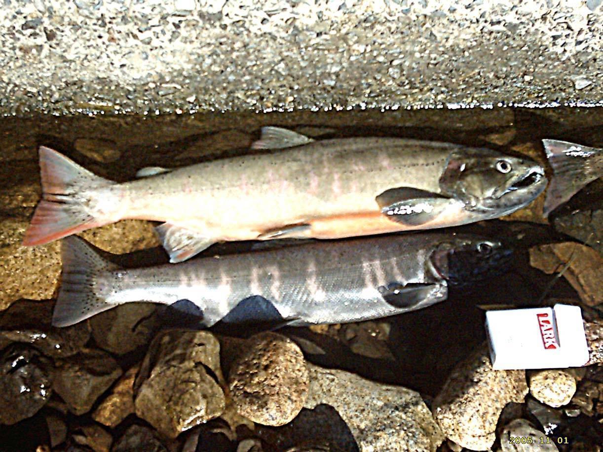 Рыба сима польза и вред