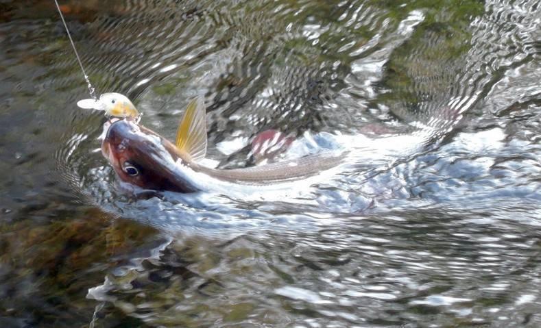 Рыбы, запрещённые для лова на алтае -  алтай туристский. туристический портал