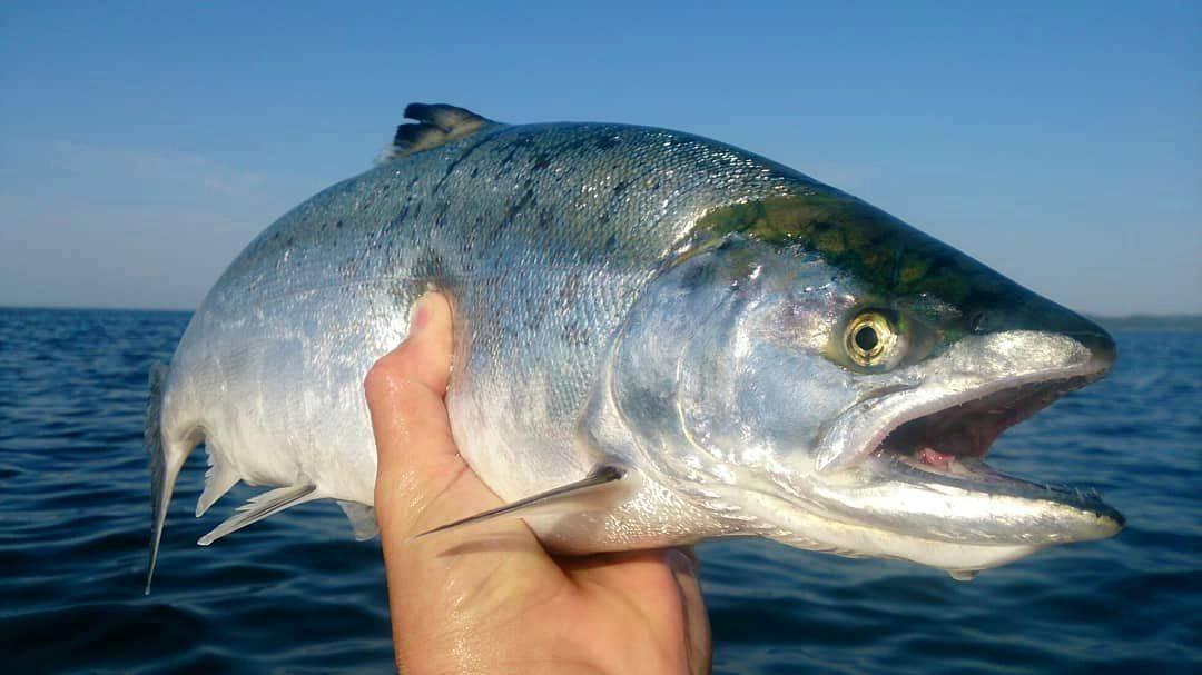 Сима промысловая рыба