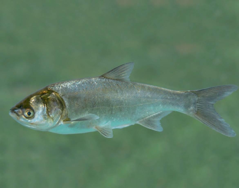 Почему толстолобика в китае называют водяной козой