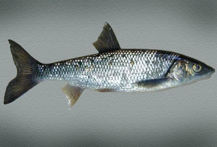 Рыба чебак: отличия от плотвы и особенности ловли